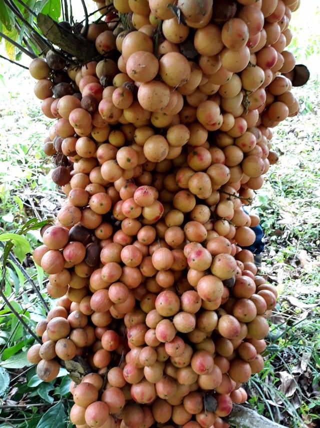 Xốn xang mùa dâu đất ở Quảng Nam - 2