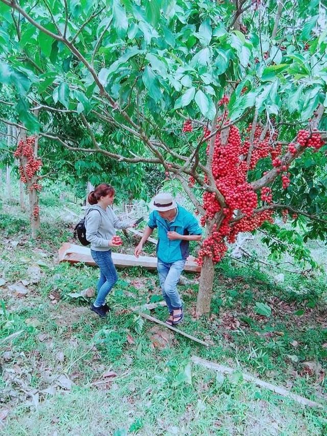 Dịp cuối tuần, nhiều bạn trẻ cũng tìm về đây ngắm cảnh, chụp ảnh lưu niệm và thưởng thức loại trái cây đặc trưng xứ sở này