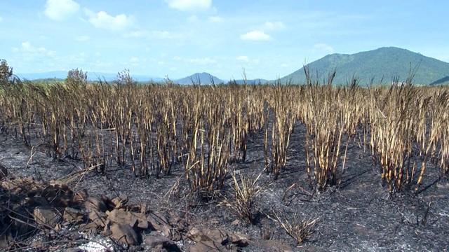Mía cháy làm nông dân mất trắng hàng tỷ đồng