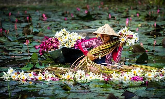 Mùa nước nổi miền Tây đẹp dịu dàng với hoa súng đua nở, hoa điên điển rực một màu vàng trên mặt nước. Ảnh: Huỳnh Phúc Hậu