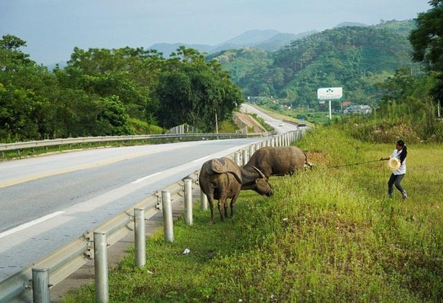 Người dân hồn nhiên cho gia súc vượt qua rào lưới, chăn thả ngay bên đường cao tốc.