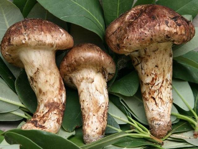 Nấm Tùng nhung, loại nấm quý hiếm và có giá đắt đỏ bậc nhất trên thế giới