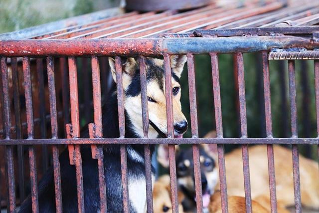 Thực tế, việc cấm giết mổ, ăn thịt chó từng được người Pháp áp dụng ở Hà Nội những năm cuối thế kỷ 19. Ảnh: Phi Hùng