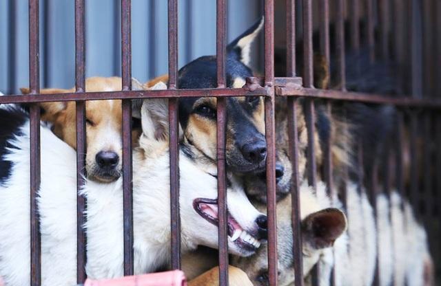 Những chú chó bị nhốt trong lồng trước khi bị làm thịt đưa lên bàn nhậu. Ảnh: Phi Hùng