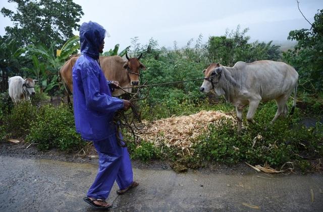 Các đập trên đảo Luzon của Philippines hôm nay đã buộc phải xả nước khi bão Mangkhut bắt đầu tăng sức gió và gây mưa lớn ở khu vực phía bắc Philippines. Các khu vực ven biển ở Philippines như Cagayan và Isabela có thể đối mặt với sóng biển dâng cao 6m. Trong ảnh: Người dân ở Cagayan đưa bò tới nơi trú ẩn an toàn trước khi bão đổ bộ. (Ảnh: AFP)