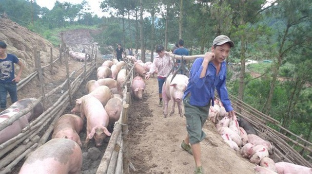 Tổng cục Hải quan yêu cầu tăng cường mọi biện pháp chống nhập lậu lợn và sản phẩm lợn nhiễm bệnh dịch tả lợn châu Phi vào Việt Nam.