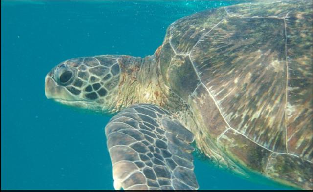 Đâu là thủ phạm khiến hơn 40% rùa biển non bị giết chết? - 1