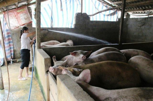 Đàn lợn một hộ dân ở xã Ngọc Lũ