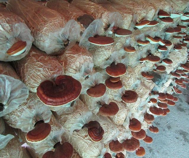 """8X """"bỏ túi"""" 200 triệu đồng mỗi năm từ trồng nấm - 3"""