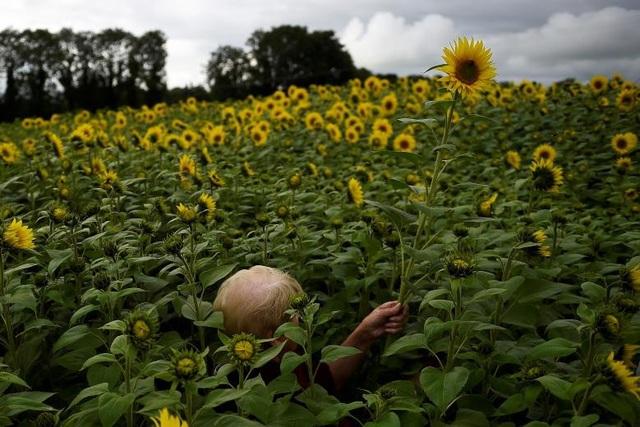 Một phụ nữ lọt thỏm giữa cánh đồng hoa hướng dương ở Ballygawley, Bắc Ireland.