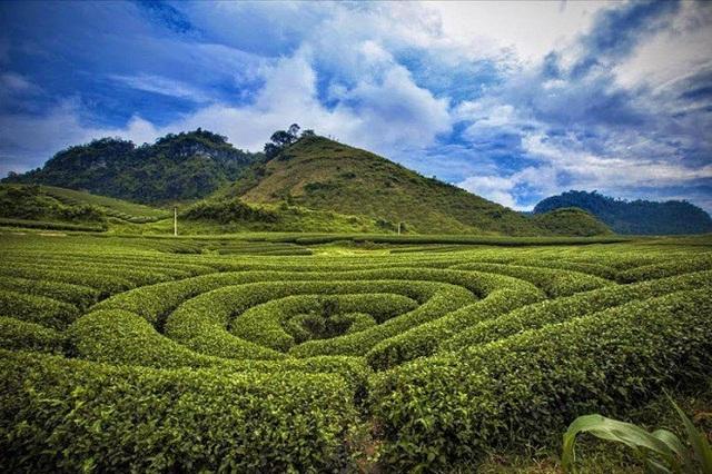 Vườn chè Mộc Châu là điểm đến khó có thể bỏ qua của dân ưu xê dịch.