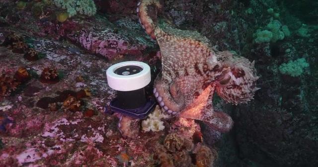 Bạch tuộc lấy trộm máy quay của người thợ lặn rồi bỏ trốn