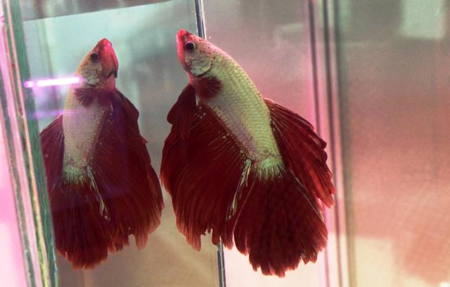 Nhiều loại cá cảnh đẹp mắt được giới thiệu tại ngày hội. Ảnh: Đại Việt