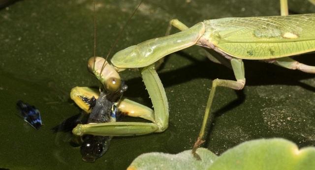 Các nhà khoa học phát hiện ra loài bọ ngựa săn cá - 1