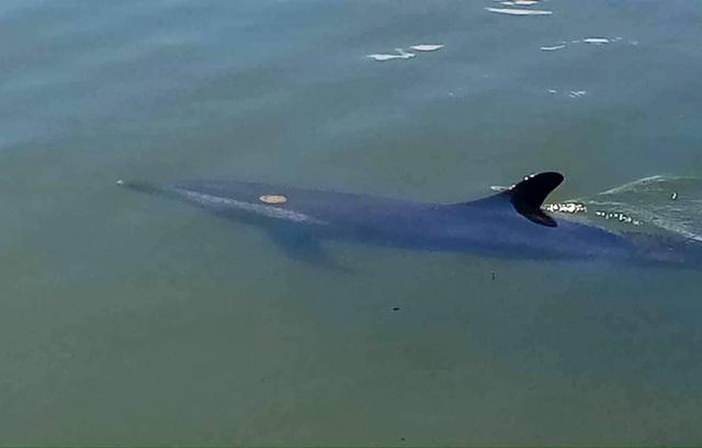 Hình ảnh con cá heo bơi lạc vào rừng dừa Bảy Mẫu