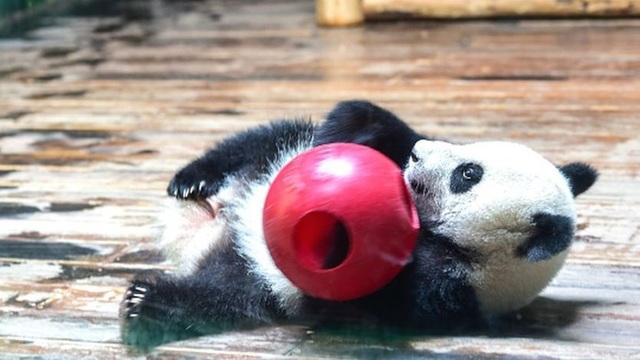 Gấu trúc sinh ba tại một sở thú ở phía nam tỉnh Quảng Đông, Trung Quốc.