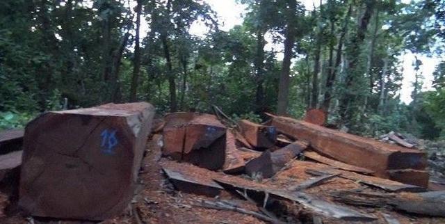 Công ty lâm nghiệp Chư Phả từng đễ xảy ra phá rừng