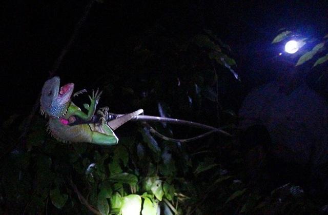 Săn kỳ tôm (Rồng đất) đêm ở rừng già Lộc Bắc.