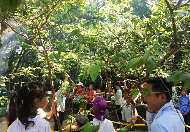 Đến với di tích Lam Kinh, nhiều người dân và du khách hiếu kỳ đến chiêm ngưỡng và tận tay sờ vào cây ổi biết cười trong khuôn viên mộ vua Lê Thái Tổ.
