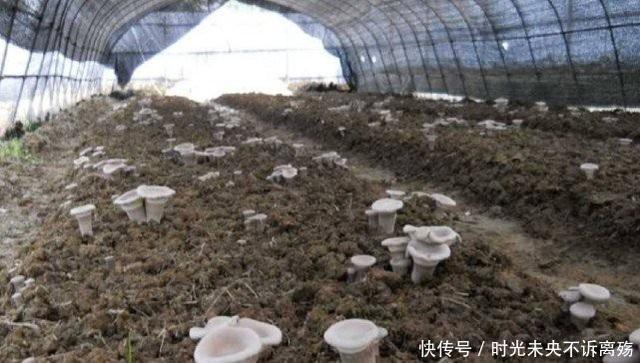 Nấm Sữa Hổ - loài nấm mọc hoang có giá trị kinh tế khá cao