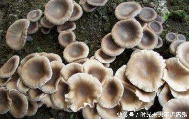 Loài mọc hoang ở vùng quê nhưng giá gần 7 triệu đồng/kg - 2