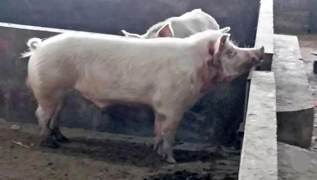 Con lợn sát thủ tấn công người. Ảnh: Thepaper.cn