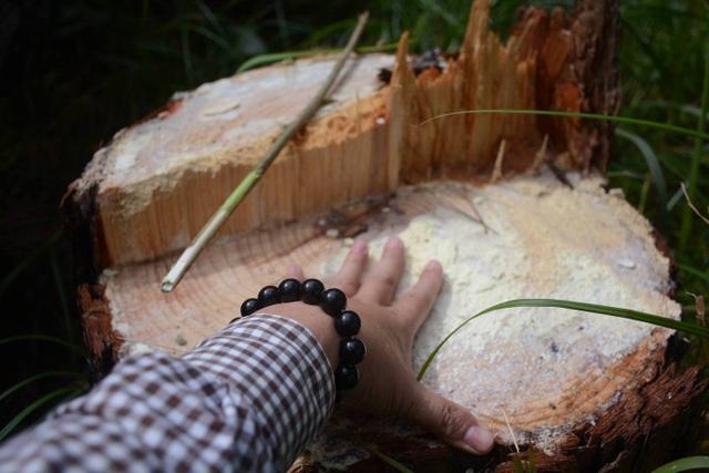 Tận diệt rừng thông để chiếm đất - 4