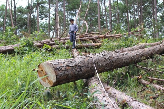 Tận diệt rừng thông để chiếm đất - 1