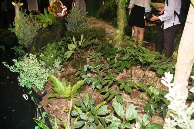 Triển lãm đã di thực nhiều cây sâm Ngọc Linh để du khách được tận mắt nhìn thấy