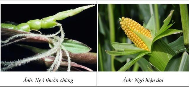 Thực phẩm biến đổi gen từ góc nhìn khoa học - 2