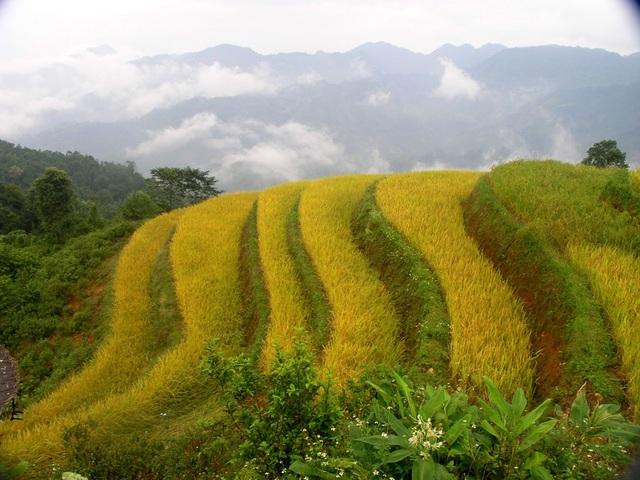 Sắc thu vàng trên cánh đồng ruộng bậc thang Hoàng Su Phì ( Hà Giang)