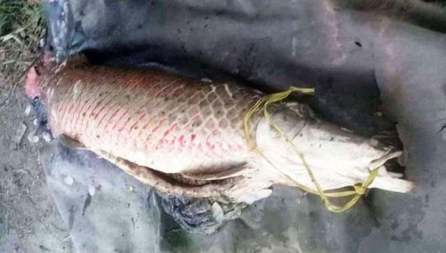 Con cá huyết rồng nặng 31kg sa lưới ngư dân.