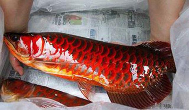 Cá huyết rồng có thân dài, uyển chuyển, đầu có đôi râu như rồng và toàn thân cá có lớp vảy đỏ như màu máu.