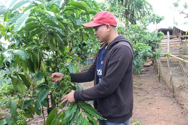 Ngoài chăn nuôi, Brooke còn canh tác vườn cà phê thuận theo tự nhiên cho năng suất cao