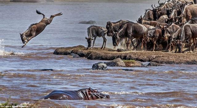 Những nguy hiểm luôn rình rập ngay dưới dòng sông tử thần, chờ sẵn bầy linh dương và ngựa vằn