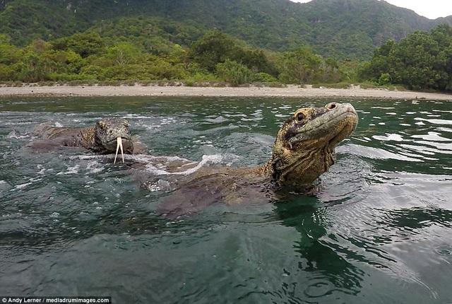 Hai con rồng Komodo cố bám đuổi theo thuyền chở khách