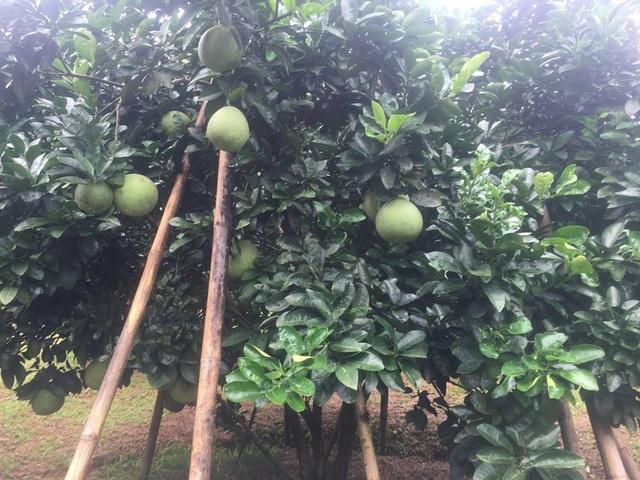 Cây mới trồng nên chỉ cao hơn 2 mét