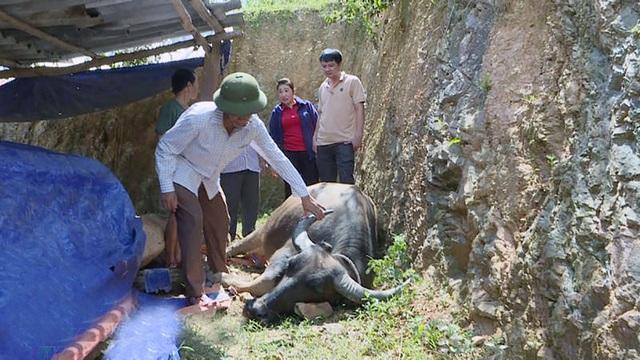 Dịch tụ huyết trùng đã làm cho gia đình anh Lương Văn Dâu, ở bản Chon có 3/5 con trâu bị chết.
