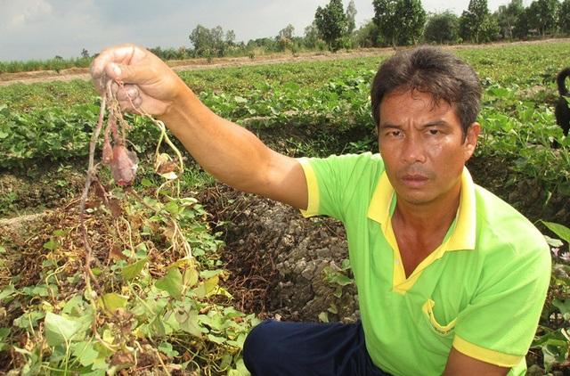 Ông Mười cho biết, hiện những công trồng khoai bị kẻ xấu phun thuốc xem như mất trắng hàng trăm triệu đồng.