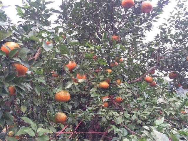 Mê mẩn những vườn cam bù chín mọng phục vụ dịp Tết - 11