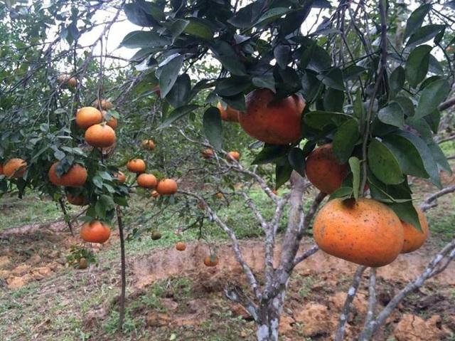"""Chị Nguyễn Thị Quy (thôn 5, xã Sơn Thọ) chia sẻ: """"Ở đây hầu như nhà nào cũng trồng cam bù. Hộ ít thì vài chục cây, có hộ nhiều lên đến vài nghìn cây. Từ nhiều năm qua, cây cam bù đã giúp người dân chúng tôi thoát được nghèo"""". Mỗi năm cây cam bù mang lại thu nhập cho người dân từ vài chục đến vài trăm triệu đồng. Thậm chí nhiều gia đình thu về cả tỷ đồng tiền cam."""