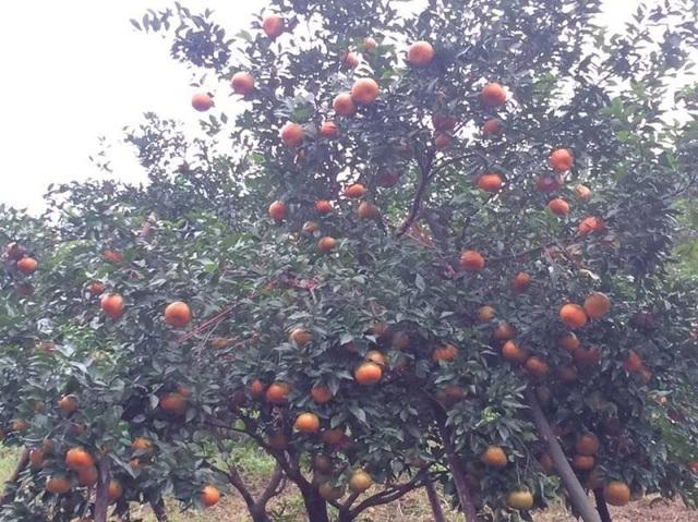 Mê mẩn những vườn cam bù chín mọng phục vụ dịp Tết - 4
