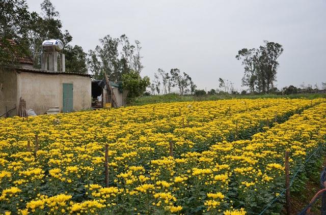 Vườn hoa cúc của người dân tại xã Lý Trạch, huyện Bố Trạch