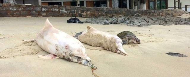 Cá heo tiếp tục chết trên bờ biển ở Brazil không rõ nguyên nhân - 1
