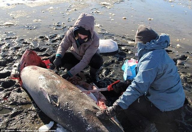 Cá mập có khả năng chịu lạnh cực tốt, nhưng nhiều cá thể cá mập đã không thể chống chọi với đợt rét kỷ lục này. Trong ảnh: Xác cá mập được phát hiện ngoài Vịnh Cape Cod (Ảnh: Facebook)
