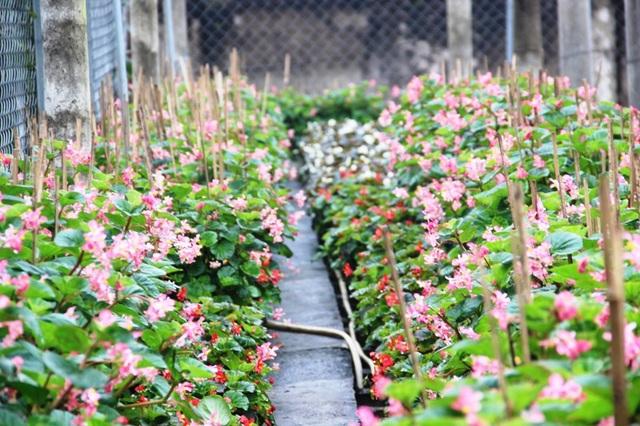 Hoa nho là loại được ưa chuộng nhiều trong những năm gần đây