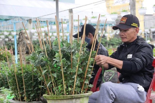 Vườn ông Hoàng Kim Trương huy động nhân lực chăm sóc hoa để cung cấp dịp Tết
