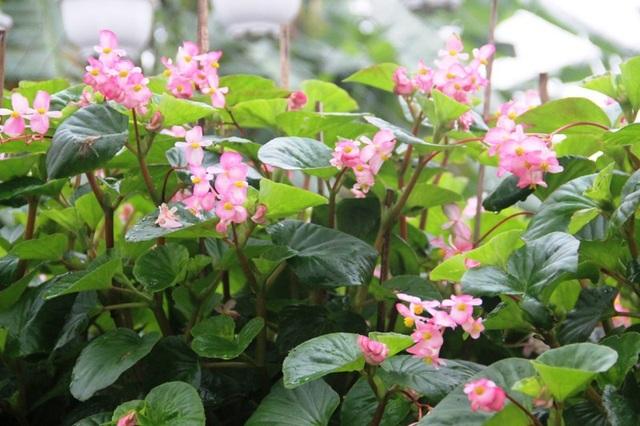 Hoa phát triển xanh tốt, rực rỡ cho dù 2 tháng nữa mới đến Tết
