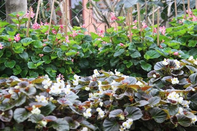 Làng hoa lâu đời nhất Quảng Trị tất bật chuẩn bị hoa Tết - 8