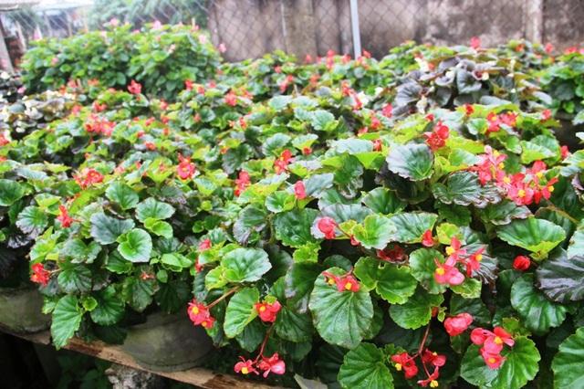 Mỗi chậu hoa nho có giá bình dân từ 300.000 - 400.000 đồng/chậu